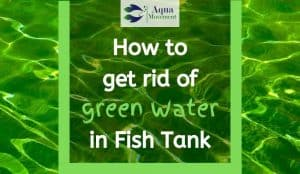 A lot of green water in fish tank