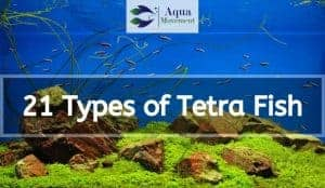 school of tetra fish in aquarium