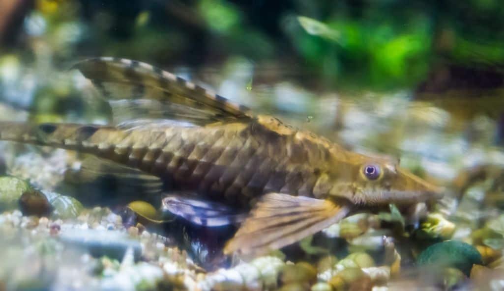 twig catfish or rineloricaria lanceolate