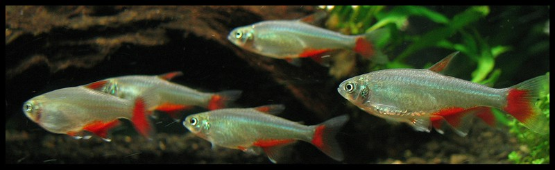 Bloodfin Tetra or Aphyocharax anisitsi