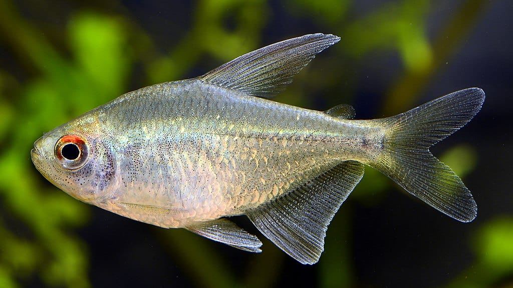 diamond tetra ( Moenkhausia pittieri )