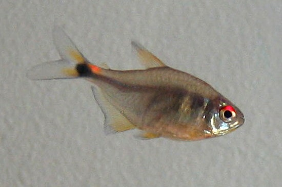Head and Tail Light Tetra or Hemigrammus ocellifer