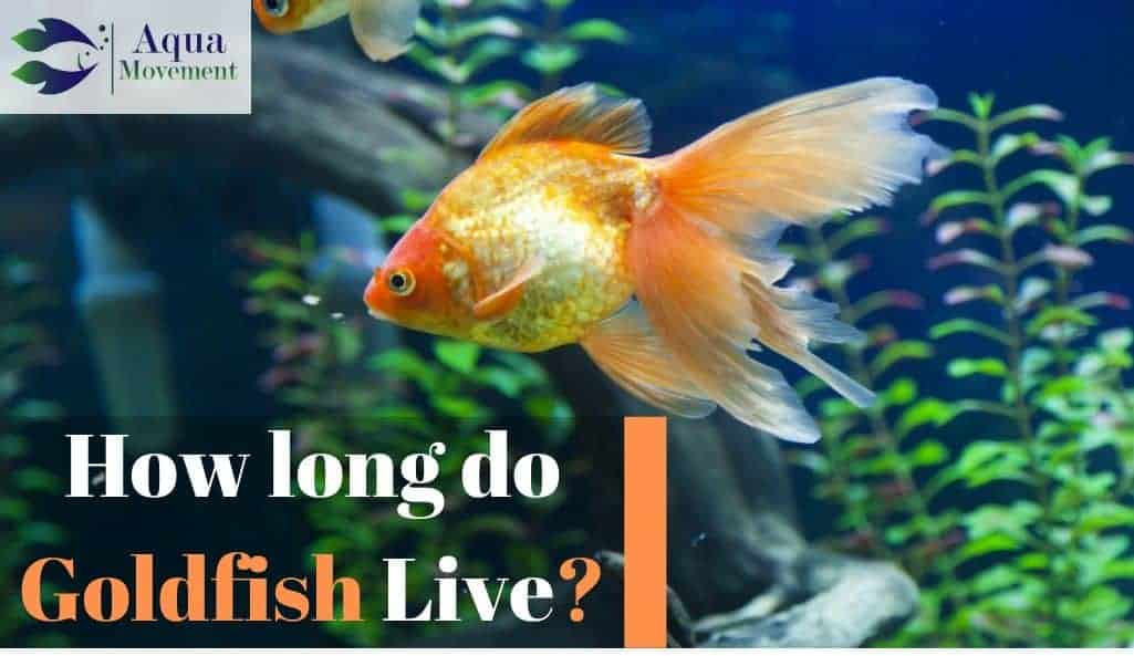 How Long Do Goldfish Live All Answers Here Aqua Movement