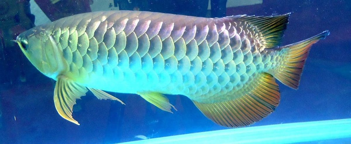 Red Tail golden Arawona fish