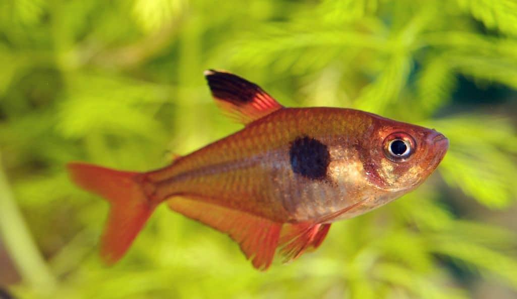 Serpae Tetra or Hyphessobrycon eques