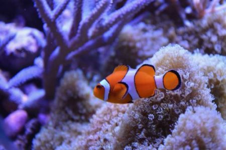 clown fish with corals in background