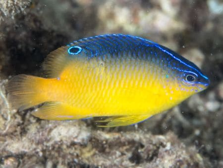 damselfish in saltwater fish tank