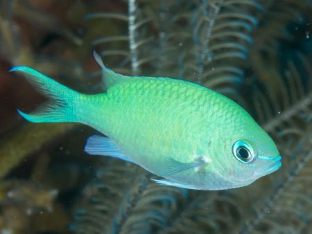 Blue-green chromis (Chromis viridis)