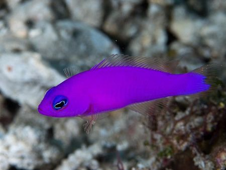 magenta dottyback in saltwater aquarium