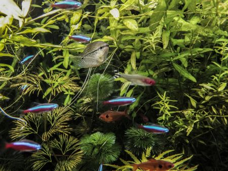 school of neon tetra with other fish