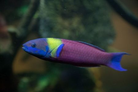 rainbow wrasse fish
