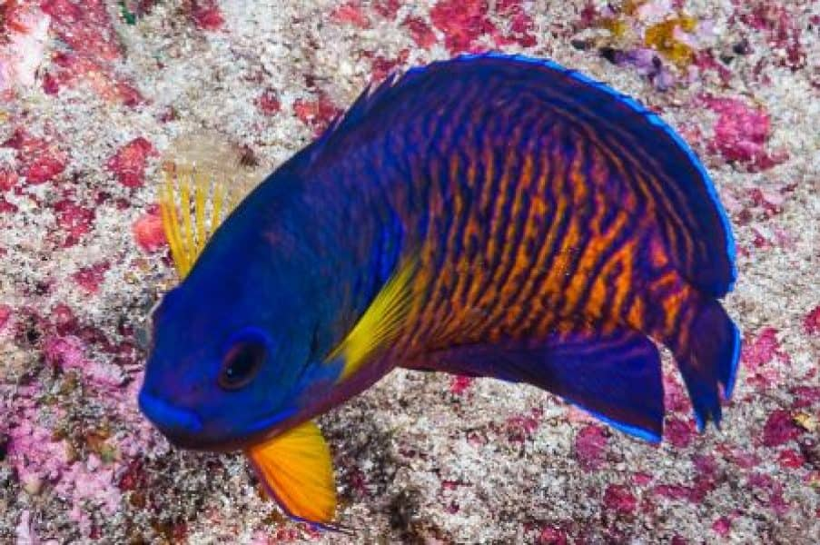 coral beautie saltwater fish for beginners