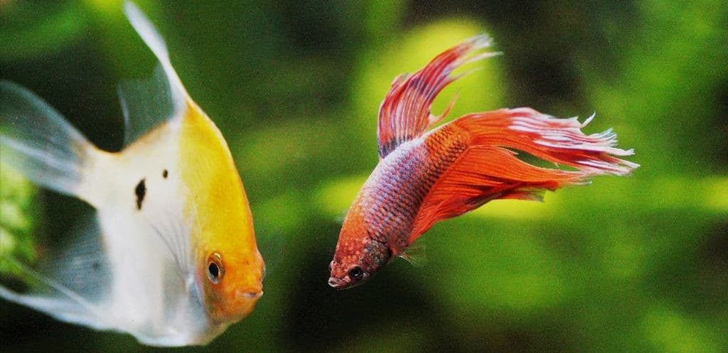 betta and angelfish