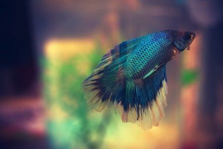 butterfly betta fish
