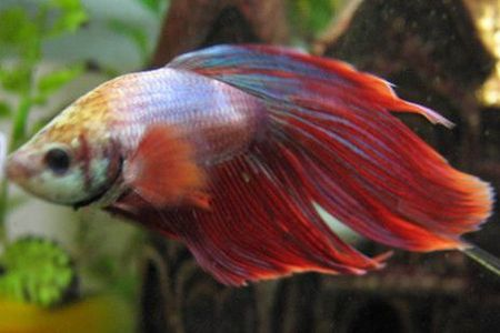cambodian type of betta fish
