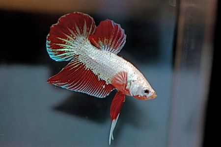 dragon type of betta fish