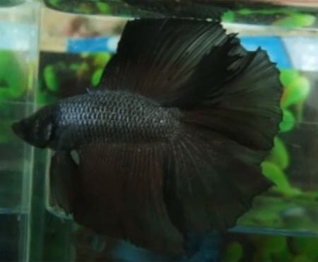 betta fish in color black