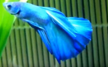 betta fish in color blue