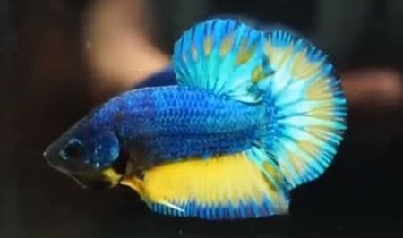 betta fish in Turquoise color