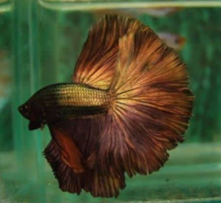 betta fish in color chocolate