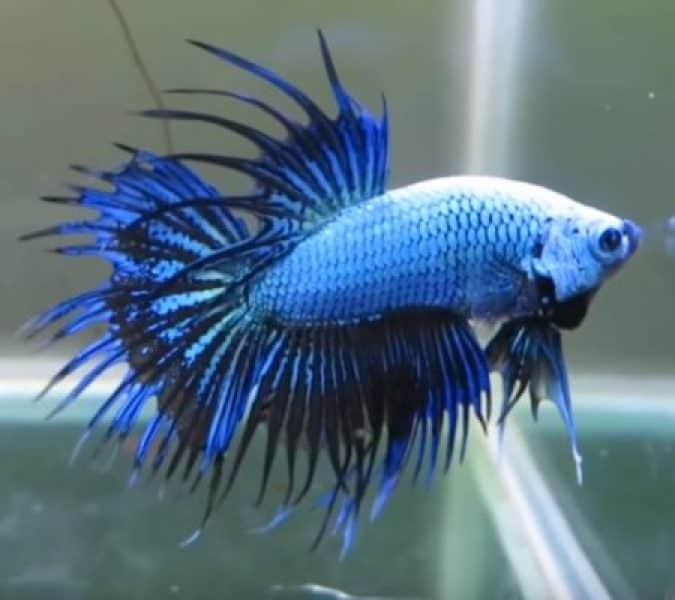 crowntail type of betta fish