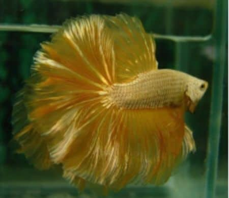 betta fish in color gold