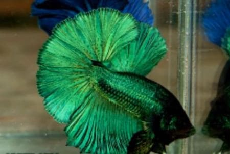 betta fish in color green