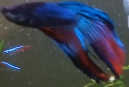 longtail type of betta fish
