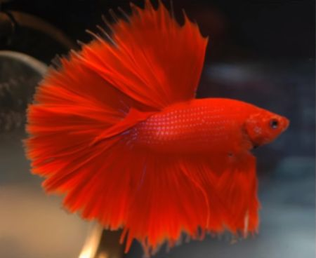 betta fish in color red