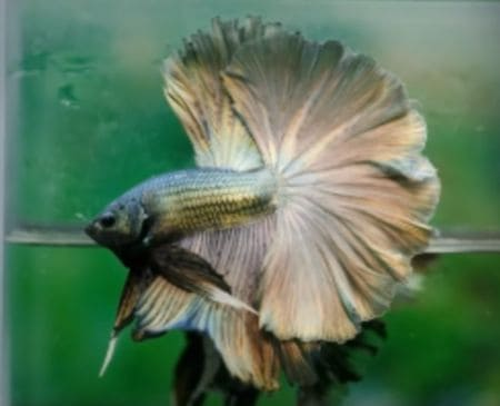 betta fish in color silver