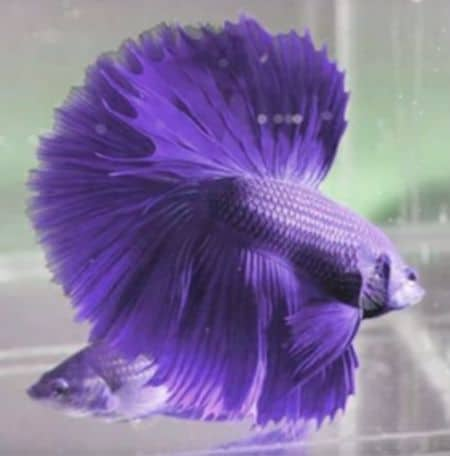 betta fish in color violet