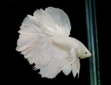 betta fish in color white
