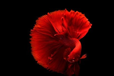 solid type of betta fish