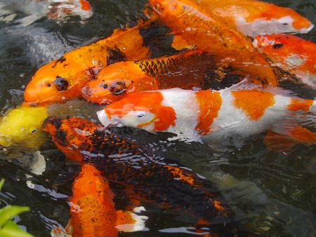 school of koi fish in a pond