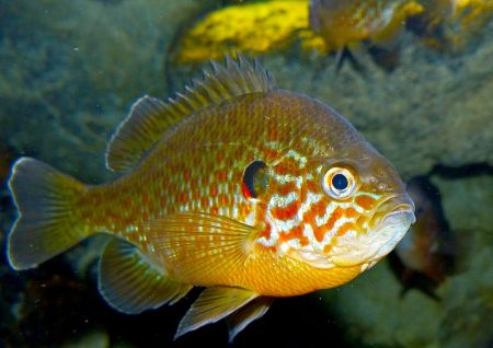 pumpkinseed fish or pond perch