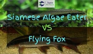 siamese algae eater and flying fox