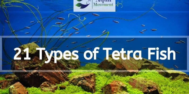 21 Types of Tetra Fish (With Pictures)