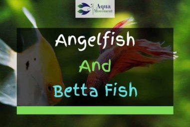 Angelfish and Betta Fish – Do They Get Along?