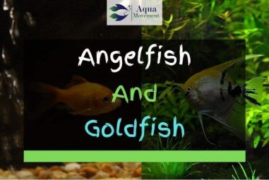 Angelfish And Goldfish – Can They Live Together?