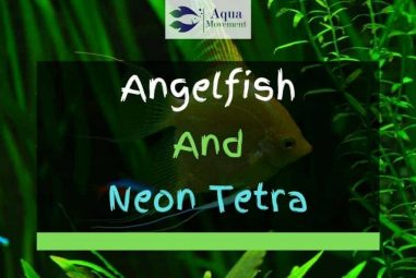 Can You Keep Angelfish And Neon Tetra Together?