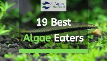 19 Best Types of Aquarium Algae Eaters for Freshwater and Saltwater (Fish, Shrimp, and Snail)