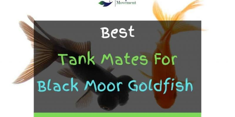 11 Best Black Moor Goldfish Tank Mates (With Pictures)