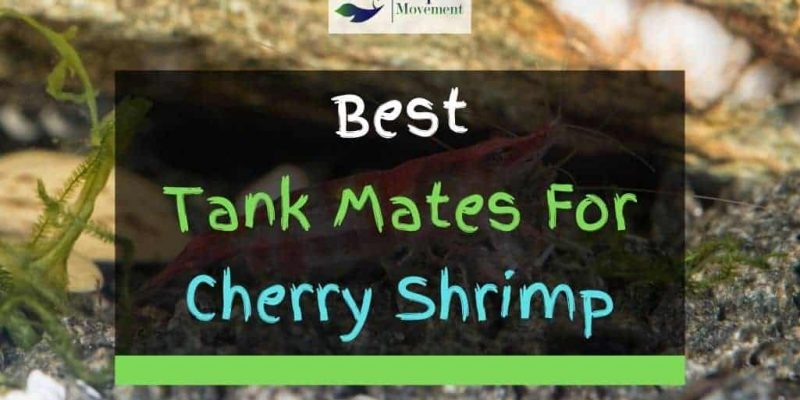 11 Best Cherry Shrimp Tank Mates (With Pictures)