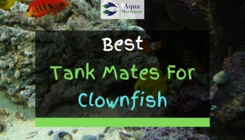 16 Best Clownfish Tank Mates (With Pictures)