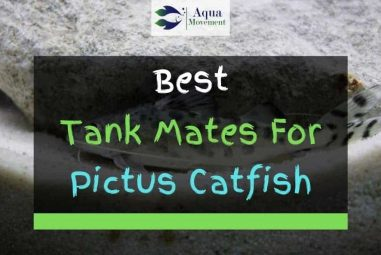 6 Best Pictus Catfish Tank Mates (With Pictures)