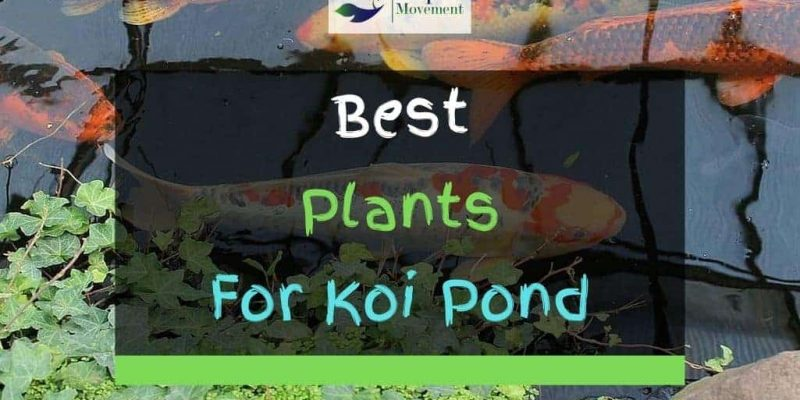 13 Best Plants for Koi Pond – With Pictures