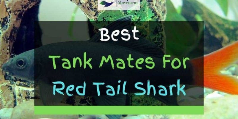 7 Best Red Tail Shark Tank Mates (With Pictures)