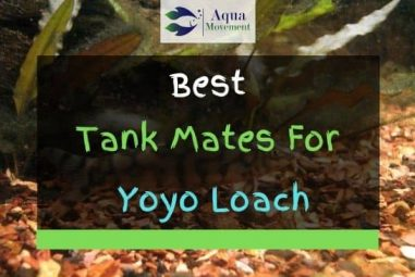 11 Best Yoyo Loach Tank Mates (With Pictures)