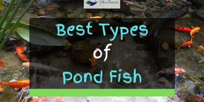 13 Best Types of Backyard Pond Fish (With Pictures)