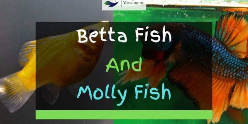 Can Betta And Mollies Live Together?